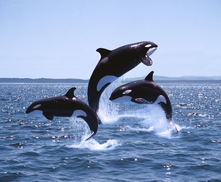 Killer Whale, orcinus orca, Adults and Calf Leaping, Canada