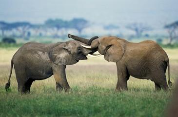 African Elephant, loxodonta africana, Youngs playing, Masai Mara Park in Kenya Wall mural