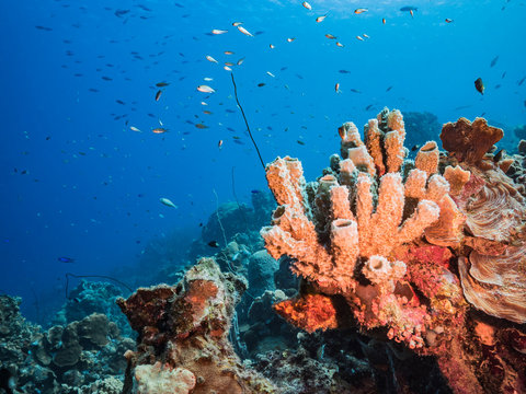 Seascape in turquoise water of coral reef in Caribbean Sea / Curacao with fish, coral and Vase Sponge