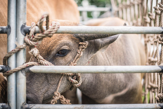 Buffalo cubs are brought in a pickup truck for sale at the cattle market in Khao Mai Kaeo, Chonburi, Thailand