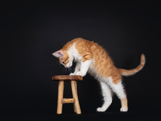 Wall Mural - Cute red and white Maine Coon cat kitten, standing side ways with front paws on little wooden stool. Looking down to stool. Isolated on black background.