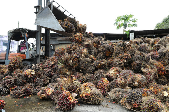 A worker unloads palm oil fruit bunches at a factory in Tanjung Karang