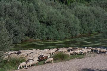 rzeka owce zwierzęta natura drzewa woda rośliny