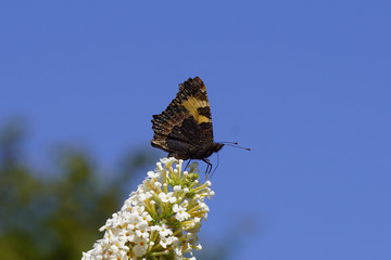 Small tortoiseshell (Aglais urticae, family Nymphalidae on white flowers of a summer lilac (Buddleja davidii). Summer in a Dutch garden with a bright blue sky as background. August