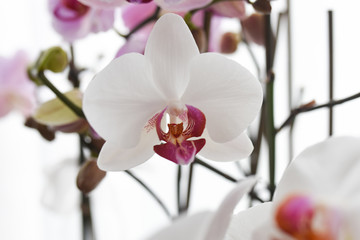 Printed roller blinds Orchid orchidea petalo petali orchidee fiorirai