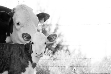 Wall Mural - Hereford calf looking at camera with cow in background close up, copy space on field backdrop in black and white.