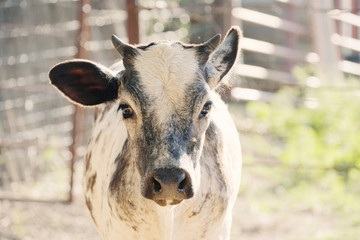 Wall Mural - Cute white and roan Brahman crossbred beef calf portrait outdoors.