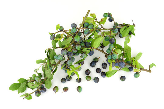 Sloe berries from the blackthorn bush used for making sloe gin and jam