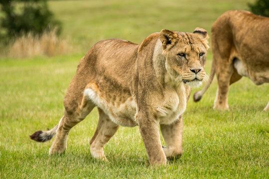 Large Lion lioness eating stalking meat. Fierce apex predator