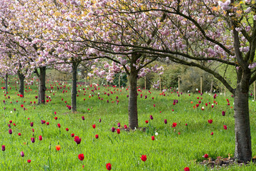 Printed roller blinds Tulip Prunus and tulips