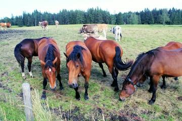 Kühe und Pferde auf einer Weide, Allgäu, Bayern
