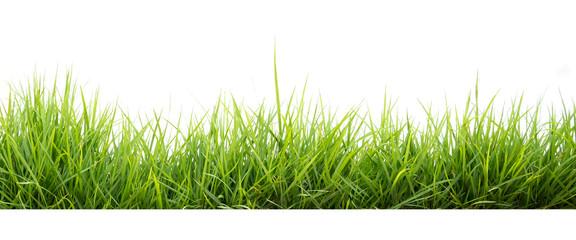 green grass in garden isolate on white background