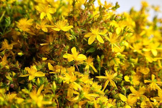 Common St Johns wort or tutsan flower in blossom