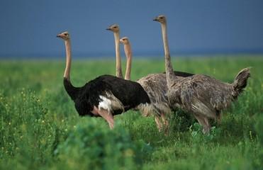 Ostrich, struthio camelus, Masai Mara Park in Kenya