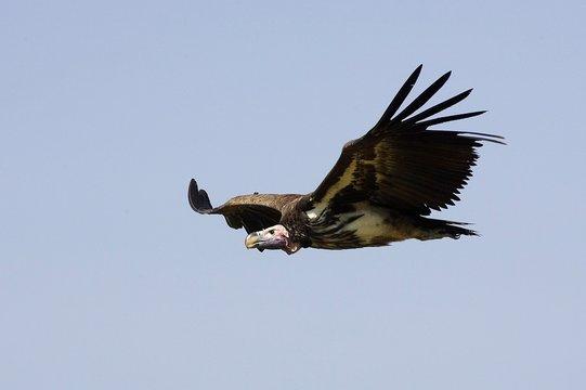 Lappet Faced Vulture, torgos tracheliotus, In Flight, Masai Mara Park in Kenya