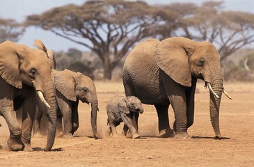 African Elephant, loxodonta africana, Herd with Mother and youngs, Masai Mara park in Kenya Wall mural