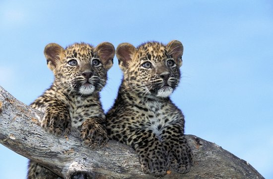 Leopard, panthera pardus, Cub standing on Branch