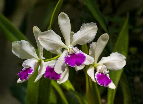 Orchidaceae Cattleya deckeri. Botanical Garden, KIT Karlsruhe, Germany, Europe.