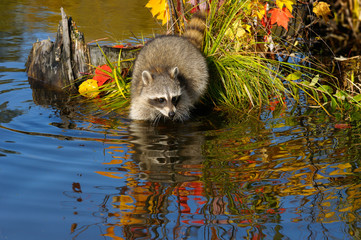 Raccoon wading into flood water near a small island of grass and maple saplings in the Fall