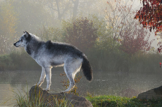 Backlit Gray Wolf standing on rock over water in the mist of early morning with Fall colors