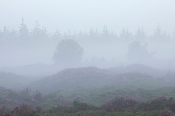 foggy  morning over hills with heather and forest