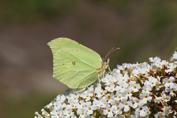 Common brimstone (Gonepteryx rhamni) of the family Pieridae on  white flowers of a summer lilac (Buddleja davidii). In the summer in a Dutch garden.
