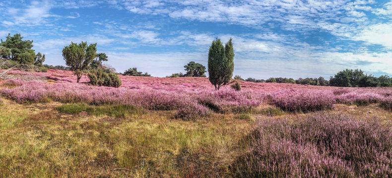 Die Westruper Heide bei Haltern am See-Panoramafoto
