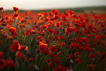 Deurstickers Rood paars Field of poppies on a summer sunset. soft focus