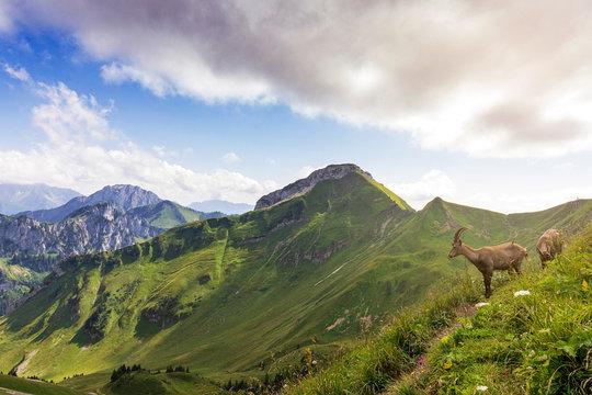 Jeunes bouquetins sur une crête avec les montagnes en arrière plan