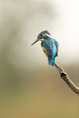 Wall Mural - Male Common Kingfisher perched on a branch looking down with light coloured background.