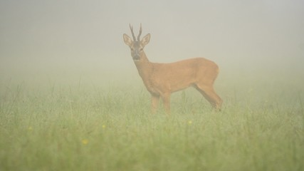 roe deer in the fog (Capreolus)