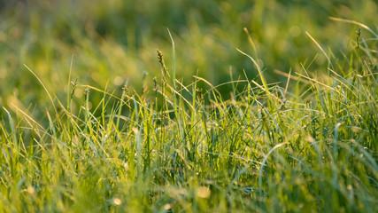 trawa w swietle Słońca
