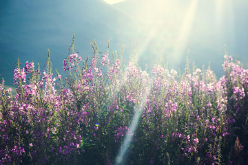 purple flowers in mountain background