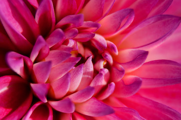 Pink Dahlia flower with close up macro view in vibrant purple pink colors