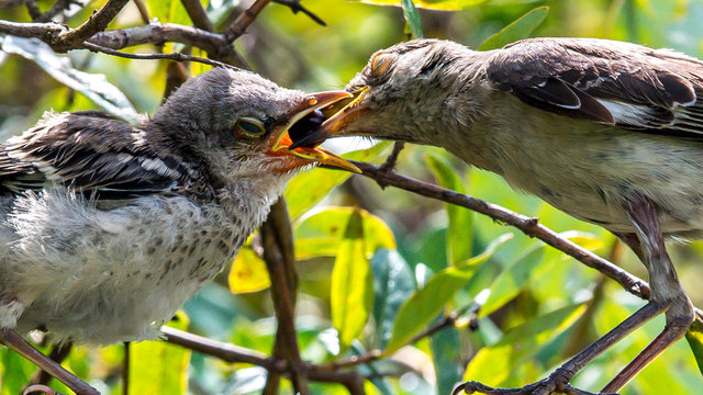 Mockingbird mother and young baby feeding