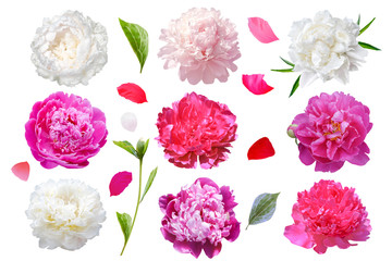 Foto op Canvas Bloemen set of peony flowers isolated on white background