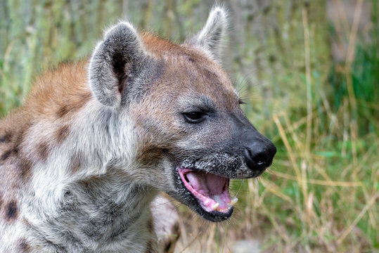 Spotted Hyenas in nature,close up.. Carnivore, creature.