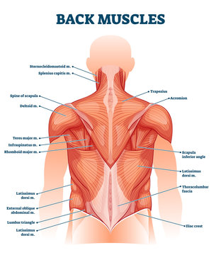 Back muscles labeled anatomical educational body scheme vector illustration