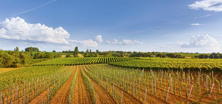 Panorama-Landschaft mit Weinreben