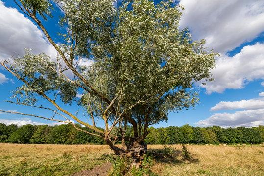 Très vieux arbre dans un pâturage