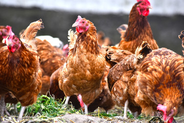 Papiers peints Poules Chickens on traditional free range poultry farm