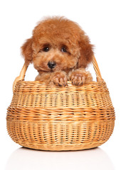 Wall Mural - Toy Poodle puppy on white background