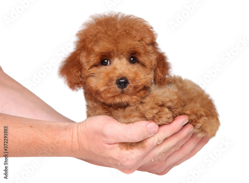 Wall mural Man holds Toy Poodle puppy