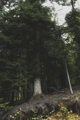 Drzewo iglaste na górskim stoku