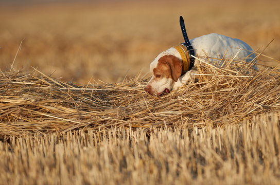 Pointer hunting quail in wheat field