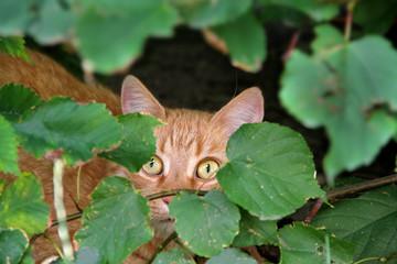 Portrait Ängstliche rote Katze im Versteck hinter Blättern