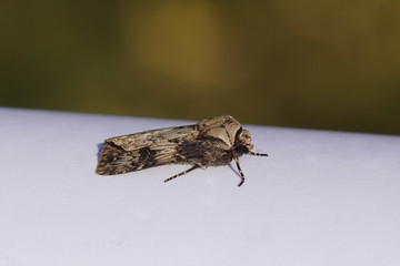 Agrotis puta, the shuttle-shaped dart, a moth of the family Noctuidae on a white paper in the sun. Summer in a Dutch garden.