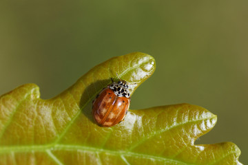 Cream-streaked lady beetle or four-spot ladybird (Harmonia quadripunctata). A ladybird belonging to the family Coccinellidae. On a young oak leaf in a Dutch garden. Summer.