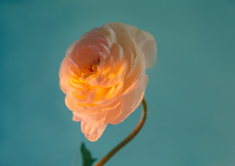 Anemone in warm light against blue background