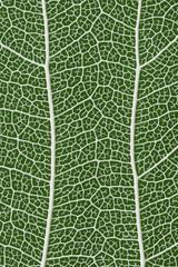 Aspen leaf skeleton, close up